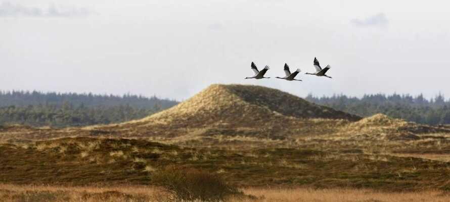 Erkunden Sie die Dünen und die hügelige Landschaft des Nationalparks Thy.