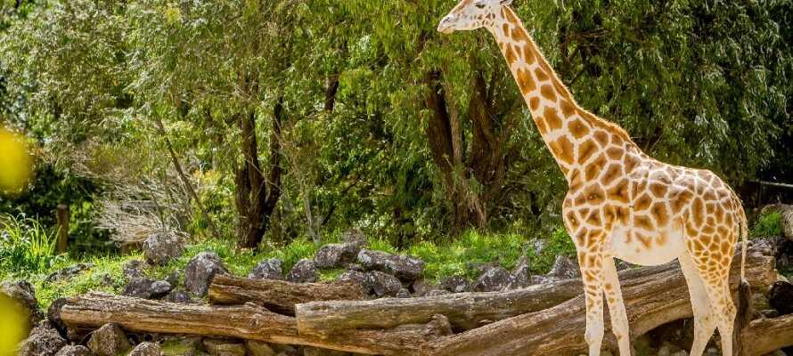 På Odense Zoo finns många olika djur som giraffer, jättesköldpaddor och lejon.