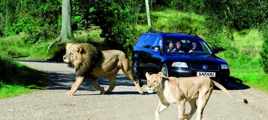 Dra på safari i Givskud Zoo, som kun ligger en kort kjøretur fra hotellet.
