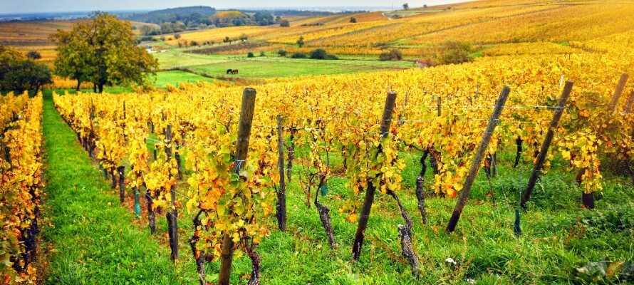 Nicht weit vom Hotel entfernt liegt die beliebte Weinstraße im Elsass, wo Sie die goldenen Tropfen kosten können.