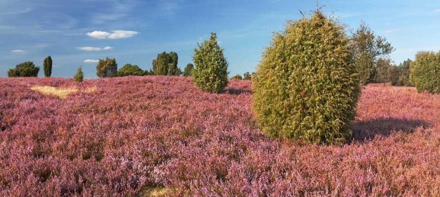 Tag på udflugt til det smukke hedelandskab, Lüneburger Heide, der tilbyder et væld af flotte vandrestier.
