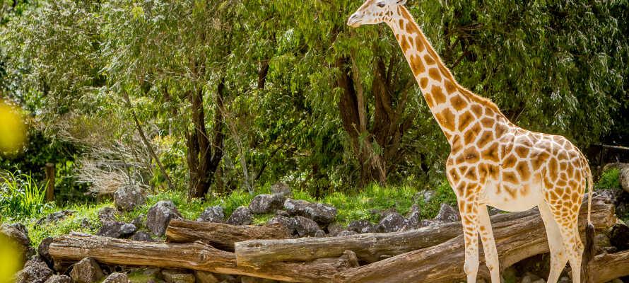Besøg Odense Zoo, som adskillige gange er kåret til Europas bedste zoologiske have!