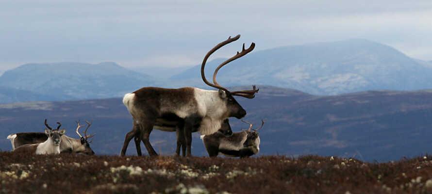 Besuchen Sie das Norwegische Rentier Zentrum und den Hardangervidda Nationalpark neben dem Hotel.