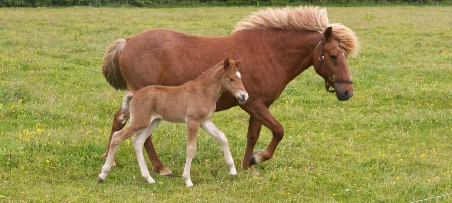 I naturskønne omgivelser på Langeland løber der ca. 60 vilde heste rundt.