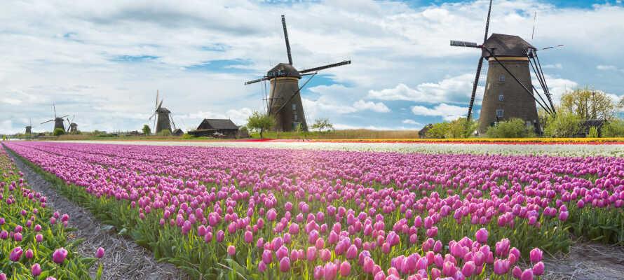De hollandske landskaber er præget af farverige blomstermarker og charmerende vindmøller.