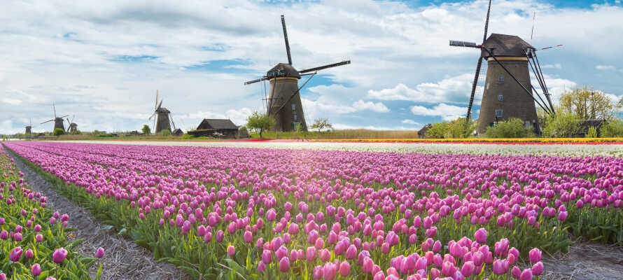 Holland är särkilt färgriks under våren då tulpanmarkerna står i full blom och gör landskapet extra vackert.