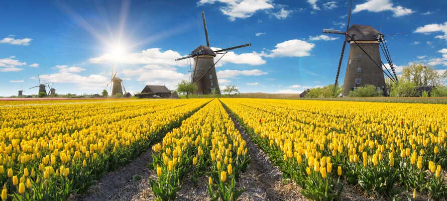 Holland er kendt for de flotte og farverige tulipaner og de mange fine, gamle vindmøller.