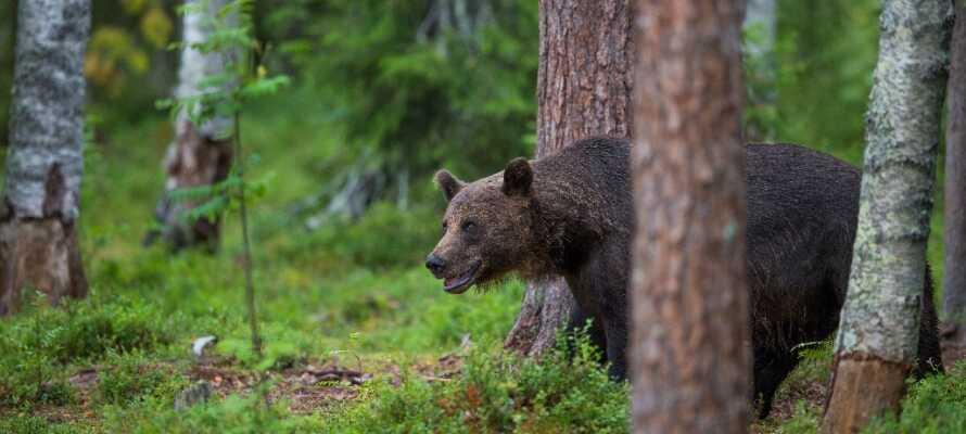 Se naturens jægere som f.eks. brune bjørne og sneleoparder på tæt hold i Orsa Rovdyrpark.