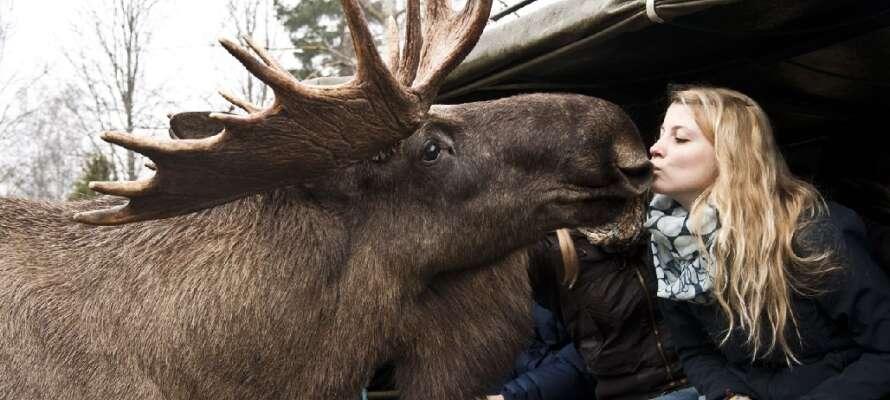 Machen Sie eine Elch-Safari im Virum Älgpark, wo Sie den beeindruckenden Tiere hautnah begegnen können.