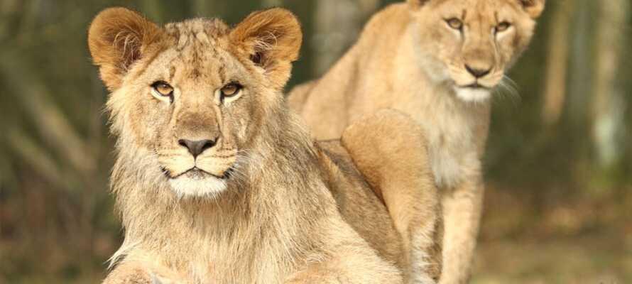 Besøg de 700 dyr fra hele verden i Givskud Zoo, og oplev en tropisk safari på tætteste hold.