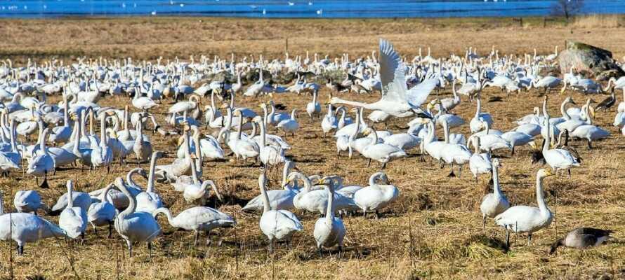 I perioden mars og april samles hvert år opp til 4000 svaner ved Tysslinges. Det er et syn for øyet.