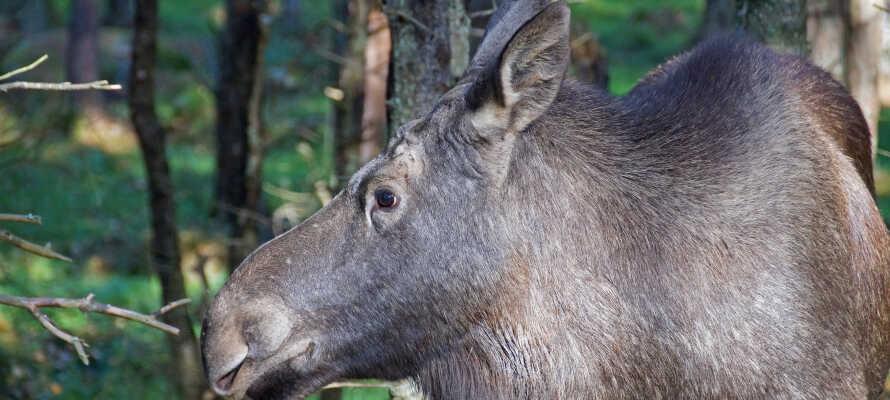 Upplev skogens konung och amerikanska bisonoxar på nära håll under en älgsafari i Smålandet.