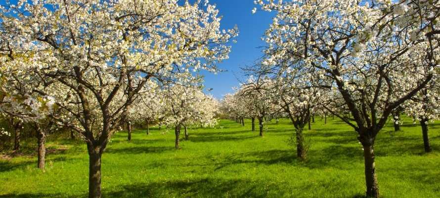 Österlen er kjent for sine naturskjønne omgivelser og Kivik er mest kjent for Kiviksmarkedet som holder årlig under sommeren samt eplemarkedet som holdes hver høst.