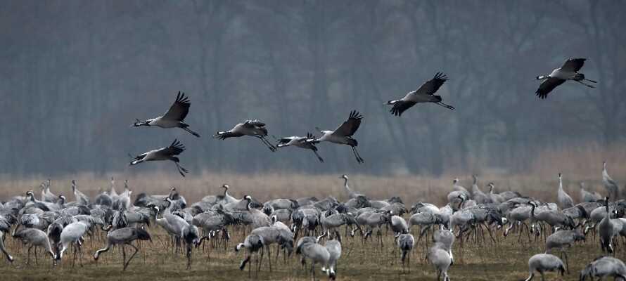 Tag ud til Naturreservatet Vattenriket og se de mange tusinde traner, der hvert år holder hvil her.