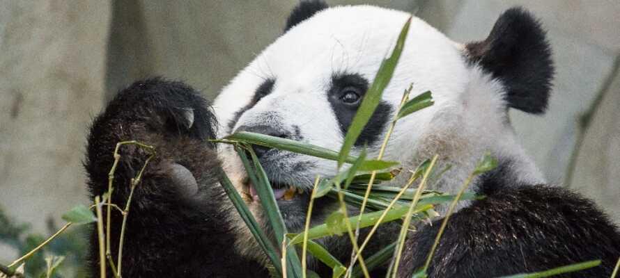 Nehmen Sie die ganze Familie mit in den Zoo, einen der wenigen zoologischen Gärten der Welt, in dem man auch ausgewachsene Pandabären sehen kann.