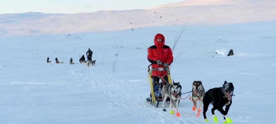 Geilo Husky nehmen Sie mit den Hundeschlitten durch die  Schneelandschaft zu einem ganz fantastischen Erlebnis mit.