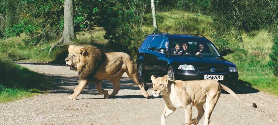 Tag børnene med en tur på uforglemmelig safari i Givskud Zoo!