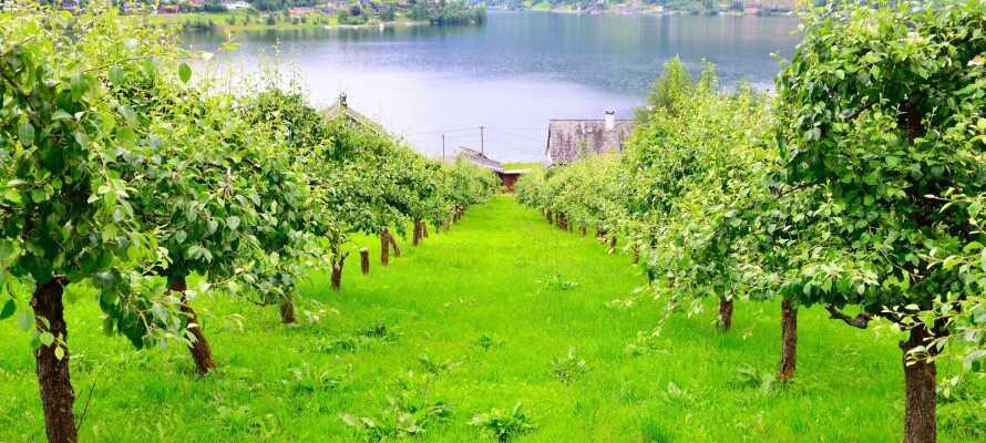 Ulvik er kendt for sin ciderproduktion, som stortrives i Hardanger-regionens milde klima.