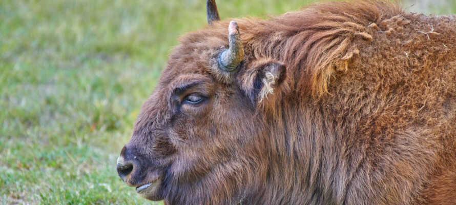 Tag en tur ud på den fynske prærie og besøg Nordeuropas største bison farm.